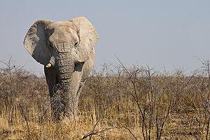 Male elephant in Etosha National Park, Namibia...